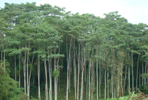 Balsa Wood Forest